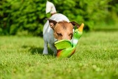 Dog training to fetch game with toy duck at backyard lawn Royalty Free Stock Images