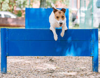 Dog training to jump over hurdle at doggy park Stock Images
