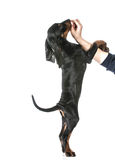 Dog training Royalty Free Stock Photo