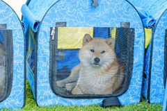 Dog in transport cage. Big dog lying inside blue transport cage with mesh front Stock Photography