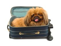 Dog in travel case Stock Image