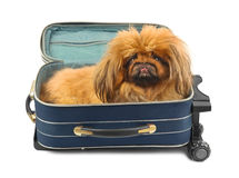 Dog in travel case Royalty Free Stock Image
