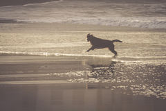 Dog travel happy run on the beach Royalty Free Stock Image