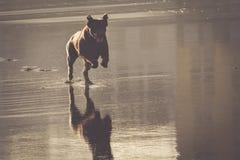 Dog travel happy run on the beach stock photography