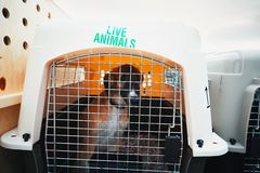 Dog traveling by airplane. Box with live animals at the airport Stock Photography
