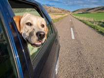 Dog Traveling in Car. Dog poking his head out the window of a car in a long road Stock Photo