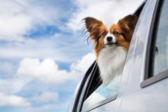 Dog traveling in the car Royalty Free Stock Image