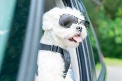 Dog traveling in a car Stock Photos