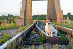 Dog traveling by railroad. Jack Russell Terrier sitting on railway Stock Images