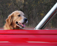 Dog travelling in the red car Royalty Free Stock Image