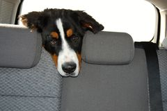 Dog travels in the car Royalty Free Stock Photography