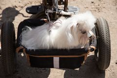 Dog travels with the owner in a basket bike trailer. White dog lapdog travels with the owner in a special trailer basket for bicycle pets Royalty Free Stock Photo