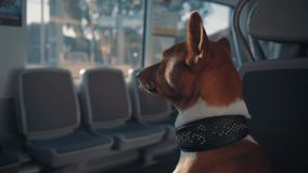 Dog travels in train stock footage