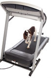 Dog on treadmill Royalty Free Stock Images