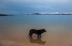 Dog on Trearddur Bay Stock Photo