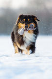 Dog with treat bag in the snout in snow Royalty Free Stock Photography