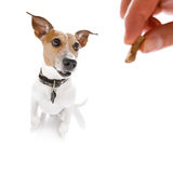 Dog treat with owner. Curious dog looking up to owner for a cookie treat , waiting or sitting patient to play or go for a walk , isolated on white background royalty free stock photos