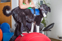Dog treatment. Dog balancing on ball in therapy royalty free stock photography