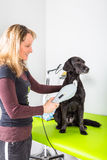 Dog treatment. Black dog gets treatment at an animal physiatric office stock images