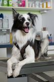 Dog on the treatment table at the vet. Border collie dog lying on the treatment table at the vet stock photo