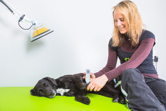Dog treatment. Woman treats sick dog with laser acupuncture stock photos