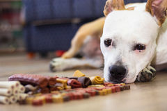 Dog with treats Stock Images