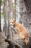 Dog on a tree. Pine forest. Stock Photography