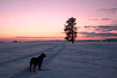 A dog, a tree, and the sunset. A dog is in the foreground in a field of a sunset images Stock Photo