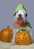 Dog with trick or treat pumpkin Stock Photography
