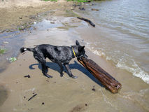 The dog tries to drag the log Stock Images