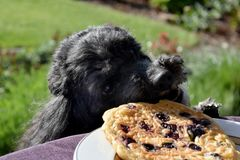Dog tries to steal a pancake. Hungry poodle dog tries to steal a pancake from the garden table. He is watching for a good opportunity stock images