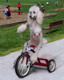 Dog on trike Royalty Free Stock Image