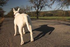 Dog on trip. White dog on mystery tour Stock Image