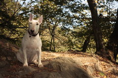 Dog on trip. White dog on forest way Royalty Free Stock Images