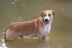 Dog on the tropical beach. Puerto Viejo stock image