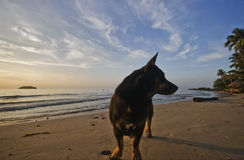 Dog of tropical beach Royalty Free Stock Photos