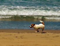 Dog of tropical beach Royalty Free Stock Images