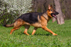 Dog trotting in park Royalty Free Stock Photo