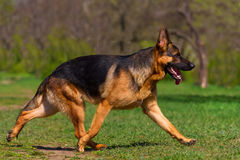 Dog trotting in park Royalty Free Stock Photography