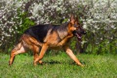 Dog trotting in park Stock Image