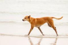 Dog trotting on the sea Stock Photos