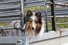 Dog in truck. A Shetland sheepdog in the back of a farming truck royalty free stock images