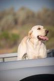 Dog in Truck stock photos