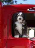 Dog in truck. A black and white dog in a red truck royalty free stock photo