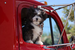 A dog in a truck. A happy dog is going for a ride in a truck with his hair blowing in the wind Royalty Free Stock Photo