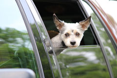 Dog in Truck Window Royalty Free Stock Photo