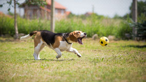 Dog trying to catch ball Royalty Free Stock Images