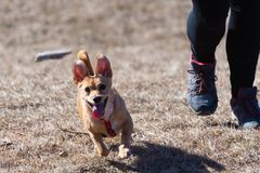 Dog trying to catch a thrown stick in midair, owner`s legs visible in background. Cute little dog trying to catch a thrown wooden stick in midair, owner`s legs royalty free stock image