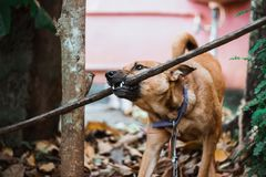 A Dog Pulling A Stick royalty free stock image