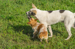 Dog is trying to strip big dog of tasty bone Royalty Free Stock Photography